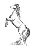 White horse rearing on hind hoof sketch portrait. White horse rearing on hind hoofs sketch vector portrait. Trained mustang stallion perfoms on its rears Royalty Free Stock Photo