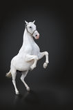White horse rearing isolated on black royalty free stock photography