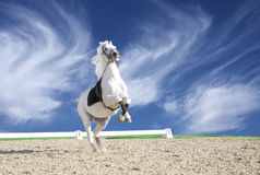White horse rearing in sand arena. Beautiful white horse performing in a sand arena Stock Photos