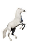 White horse rearing up. Isolated on white background stock image