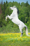 White horse rearing up on the meadow Stock Images