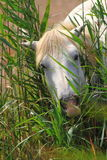 White horse in the reeds Stock Photos