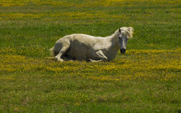 White horse relaxing laying Royalty Free Stock Photos