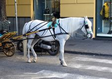 A white horse resting between buggy rides in Piazza Tasso, Sorrento, Italy. Pictured is a white horse resting between buggy rides in Piazza Tasso, Sorrento Stock Photos