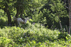White horse riding in the green forest Stock Images