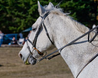 White horse with riding tack. Side profile of white horse with riding tack in countryside stock photos
