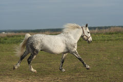 White horse  run on the field on a background gray sky Stock Photo