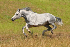 White horse run gallop. On the meadow Royalty Free Stock Images