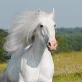 White horse run gallop. White horse runs gallop in summer Royalty Free Stock Photo