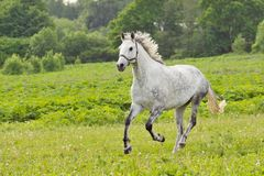Bay horse run gallop on green meadow in summer day. White horse run gallop on green meadow in summer day, outdoors, horizontal. Shallow DOF, focus on horse Stock Photo