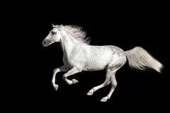 White horse run gallop Royalty Free Stock Photo