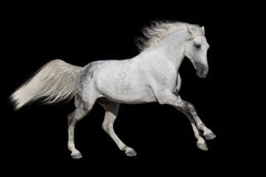 White horse run gallop Royalty Free Stock Photography