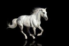 White horse run gallop Royalty Free Stock Photos