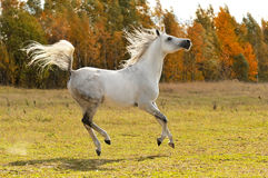 White horse run gallop on the meadow. White arabian horse run gallop on the meadow Royalty Free Stock Photo