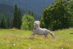 White horse run in green grass Royalty Free Stock Photos