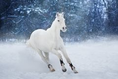 White horse run. In snow landscape royalty free stock images