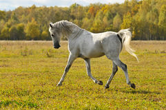 White horse run trot on the meadow. White horse run gallop on the meadow in autumn Stock Image