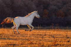 White horse runnig. On the sunset field royalty free stock images