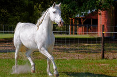 White horse running Royalty Free Stock Photo