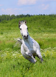 White horse running Royalty Free Stock Photos