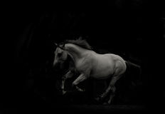 White horse running in the dark Stock Photography