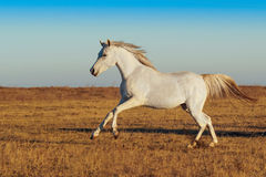 White horse running Royalty Free Stock Images