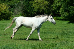 White horse running in a green field Stock Images
