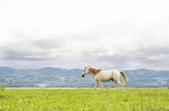 White horse running on green field. Background with blue mountain and dark cloud stock photo