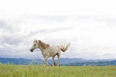 White horse running on green field. White horse running on green field background with blue mountain and dark cloud stock image