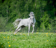 White horse running on the pasture in summer Royalty Free Stock Photo