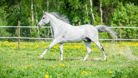 White horse running on the pasture in summer Stock Photo