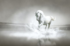 White horse running through water. Photo of white horse running through water Royalty Free Stock Photo