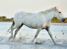 White horse running through water in sunset light Stock Images