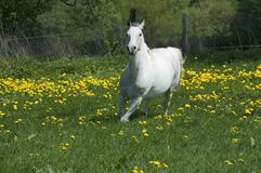 White horse runs. A pinto pleasure horse seems to enjoy a highspeed gallop through a dandelion meadow in bloom Royalty Free Stock Photo