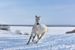 A white horse runs along the snow-covered slope Stock Images