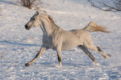 White horse. Runs on the dark sky background royalty free stock images