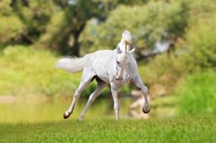 White horse runs free Stock Images