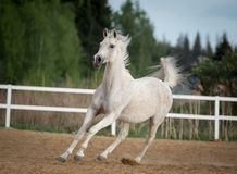White horse runs free in paddock Stock Images
