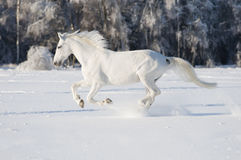 White horse runs gallop. In winter Stock Photo