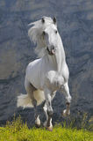White horse runs gallop. In mountain Stock Photography