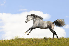 White horse runs gallop. White arabian stallion runs gallop on field Stock Images