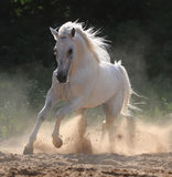 White horse runs gallop. In dust Royalty Free Stock Image