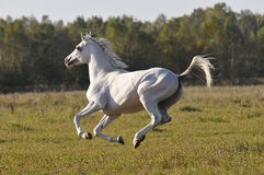 White horse runs gallop. The white horse gallops on a grass Royalty Free Stock Photo