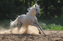 White horse runs gallop. The white horse gallops in a dust Royalty Free Stock Images