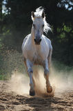 White horse runs gallop. White horse run gallop in dust Royalty Free Stock Photo