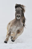 White horse runs gallop. On the snow Royalty Free Stock Photo