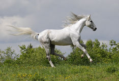 White horse runs gallop. On the meadow Royalty Free Stock Photography