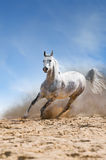 White horse runs gallop in the dust. Arabian horse runs gallop in the dust desert Royalty Free Stock Photography
