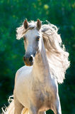 White horse runs gallop front. In dark, Andalusian Royalty Free Stock Photography