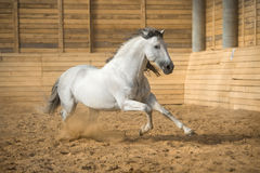 White horse runs gallop in the manege Royalty Free Stock Image